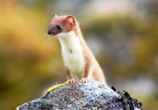 Weasel or marten shuts down the Large Hadron Collider