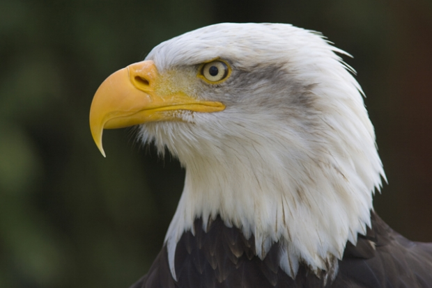 AMD bald eagle flies for Samsung digital media